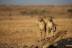 Brothers: Two cheetahs sitting (korzun) Tags: africa animal beautiful bigcat brothers cat cheetah fast kenya mammal nature park portrait predator safari savannah wild wildanimals wildlife