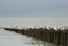 Paalhoofd (Omroep Zeeland) Tags: meeuwen zee paalhoofd