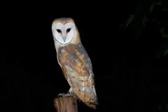 _H2A8539.jpg (AMPMartins) Tags: aves avesportugal corujadastorres