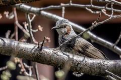 DSCN6402 (jinkemoole) Tags:   animal bird bulbul