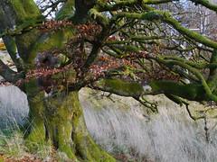 Beech, Callander Crags (Niall Corbet) Tags: scotland perthshire callandercrags callander woodland forest autumn beech fagussylvatica
