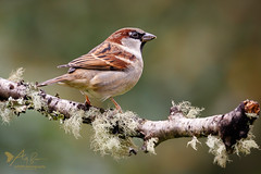 House Sparrow (ABPhotosUK) Tags: animals autumn birds canon dartmoor devon ef100400mmisii eos7dmarkii garden housesparrow passerdomesticus passeridae seasons sparrows wildlife