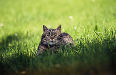 (raimundl79) Tags: wow cat katze katzenaugen fotographie foto lightroom ländle austria österreich vorarlberg nikon nikond800 myexplorer d800 animal tier sanftpfote