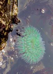 Protect2 (andieharsany) Tags: protect naturalbridges seaanemone santacruz oceanlife