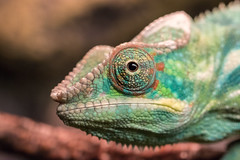 In Yer Face (ardvorak79) Tags: pantherchameleon chameleon furciferpardalis