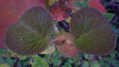 Two Hobblebush, Many Leaves - IMGP6690 (catchesthelight) Tags: fallfoliage hobblebush moosbush multicolored red orange yellow green purple bluesky trees leaves autumn colors colorful fall harvest fightcabinfever florashow newengland newhampshire leafpeeping moosebush 2setsofleaves viburnumalnifolium texture wings plant autumncolors witchhobble shrubs viburnumlantanoides nh native