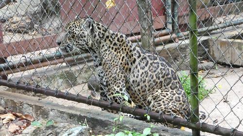 Jaguar in the Paramaribo Zoo