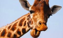 La jirafa se suma a la lista de animales en peligro de extinción https://t.co/ypqrZ7K3sB https://t.co/VEJsTsMTJu (Morelos Digital) Tags: morelos digital noticias