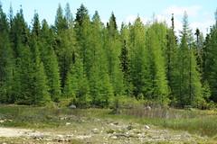 Larix laricina-05 (The Tree Library (TreeLib.ca)) Tags: tamarack larixlaricina