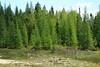 Larix laricina-05 (Tree Library) Tags: tamarack larixlaricina