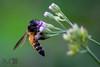 DSC_7270 (bhaskar samanta) Tags: nikon nature nikonflickraward nikkor nikond3300 nikonindia naturephotography india bengal westbengal wildlife 55300mm 55300 d3300 beautiful beauty bee closeup macro green lightroom