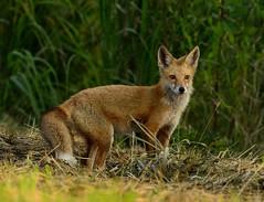Red Fox (snooker2009) Tags: red baby animal wildlife fox kit furbearer kitt mamal nuture dailynaturetnc13