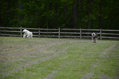 """Zarro & Chase On A Race • <a style=""""font-size:0.8em;"""" href=""""http://www.flickr.com/photos/96196263@N07/14240178322/"""" target=""""_blank"""">View on Flickr</a>"""