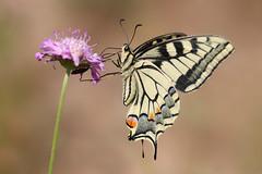 Swallowtail (Papilio machaon) (Wildlife Photography by Matt Latham) Tags: macro nature canon butterfly insect sigma mallorca swallowtail salbufera wlidlife papiliomachaon mattlatham
