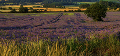 Purple Power (kellyhackney1) Tags: flowers countryside pretty purple bees lincolnshire hives