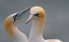 """Northern gannet"" by MFRANKLING"