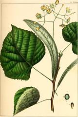 Anglų lietuvių žodynas. Žodis spatulate leaf reiškia spatulate lapų lietuviškai.