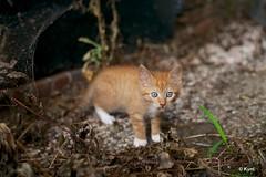 Kitty (Kym.) Tags: cat thenetherlands kitty fluffy fluff thegang gelderland lochem otherpeoplesgang