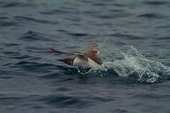 (G.D814) Tags: ireland sea bird water canon fly 7d irlanda 400mm eos7d