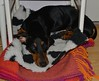 _140721_2759 (verbeek_dennis) Tags: dachshund tax kaapo dashond mäyräkoira такса gravhund jazvečík táksa