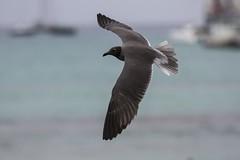 Lava Gull (Baractus) Tags: john puerto lava ecuador gull galapagos oates ayora angelito