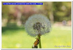 macro of dandelion seeds in a garden (Jose Angel Astor) Tags: blue summer sky plant flower macro texture nature beautiful beauty field vintage garden season design spring flora natural wind blossom background meadow fresh dandelion growth wish ideas success anaturalezavarios