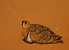 Black-faced Sandgrouse male (Rainbirder) Tags: kenya tsavoeast blackfacedsandgrouse pteroclesdecoratus rainbirder