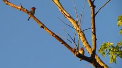 bluebirdbreakfast (fungandus) Tags: bird birds flickr wildlife maryland northamerica bluebird birdwatching bluebirds easternbluebird easternbluebirds
