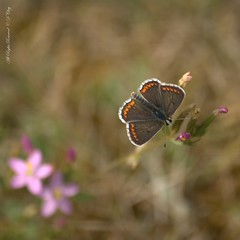 Brown Argus Butterfly (Sanglier58) Tags: brown pits butterfly hilton gravel argus aricia agestis