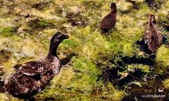 DSC_0316 (rachidH) Tags: sea lake birds geese mediterranean hellas ducks goose greece waterfowl kefalonia canard oiseaux muscovy oie karavomylos rachidh melissany