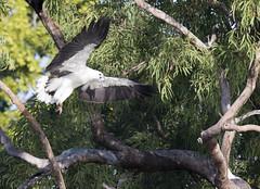 white bellied sea eagle 10 (Jim Bendon) Tags: australianbirds capeyork whitebelliedseaeagle bendon birdsinfilght canon800f56