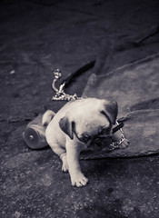 Neapolitan Pug (n.clamp) Tags: street italy dog pet puppy pug napoli naples pup tribunali