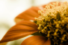 Mexican Sunflower (fabiopaivareis) Tags: mexican sunflower mexicano girassol mexicansunflower