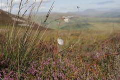 Tre'r Ceiri (Andrew 62) Tags: mountain wales landscape heather cymru llynpeninsula cottongrass trerceiri