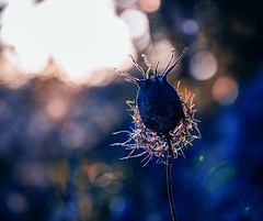 flower (canonista76) Tags: flower canon bokeh blu natura fiori 50mm18