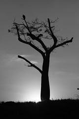 Tree (1289) (Jorge Belim) Tags: flora pb árvore 70200 canoneos50d