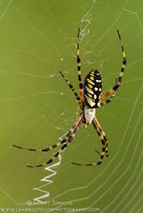 Black and Yellow Argiope (sjsimmons68) Tags: animals spiders favorites fav blackandyellowargiope argiopeaurantia insectsandspiders lakejesup seminoleco fllocations marlbedflatslakejesupca