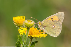Sunny Spells (Paul:Ritchie) Tags: nature wildlife butterflies ins