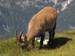Kozorog / Rock goat (Damijan P.) Tags: italy mountains alps hiking gore alpe julianalps italija hribi kozorog pecol montecimone rockgoat julijskealpe prosenak strmape