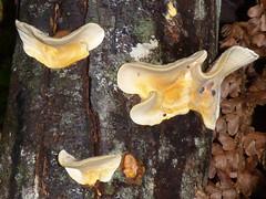 Stereum sp. (VanessaRyan) Tags: nature australia fungi tasmania stereum mtfieldnationalpark arfp geo:country=australia stereaceae trfp arffungi taxonomy:binomial=stereumostrea stereumsp orangearffungi creamarffungi mixedarf bracketarffungi geo:lat=42681859 geo:long=146716221 leatherarffungi basidiomycetesarffungi