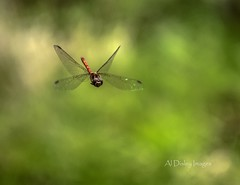 Flight of the Dragon (alundisleyimages@gmail.com) Tags: charity nature insect bokeh wildlife creature rspb nikon1755f28 nikond7100 burtonmerewetlands