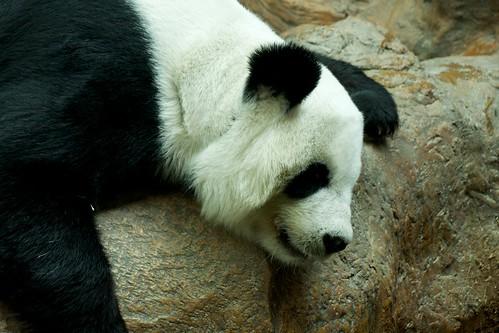 Panda Lin Hua at Chiang Mai Zoo, Thailand