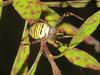 Wespenspinne (Rolf Dietrich Brecher) Tags: spider spinne wespenspinne achromat powershotg1xmarkii macro macrophotography canonpowershotg1xmarkii rolfbrecherberlin gelb gelbschwarz rolfdietrichbrecher
