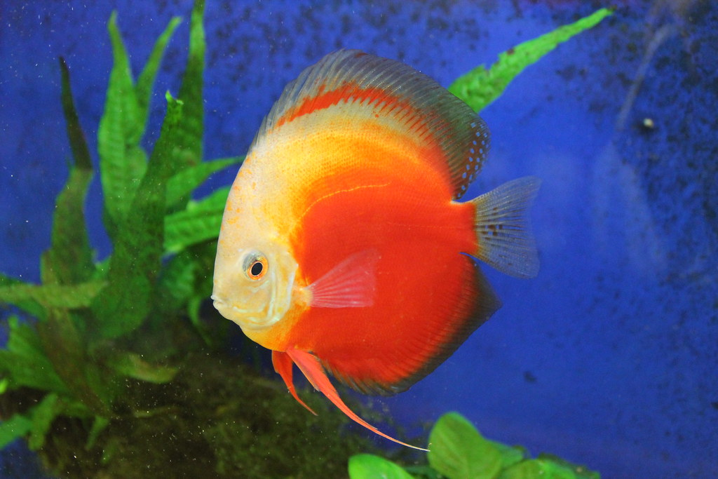 The world 39 s best photos of acquariologia and pompadour for Pesce discus