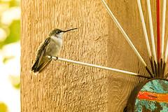 hummingbird on a perch (Connie Sue2) Tags: backyard hummingbird perch hummer explored