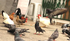 What's with the chickens? (jumppoint5) Tags: city urban chicken birds singapore pigeon flight landing together rooster