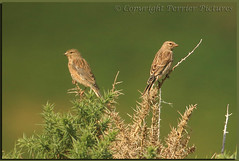 Back to back (gladysperrier@btinternet.com) Tags: county ireland beach nature inch republic wildlife kerry southern peninsula burds linnet iveragh