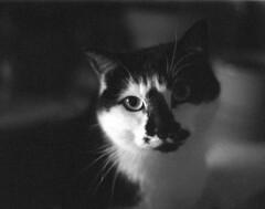 Julchen (Lupo914) Tags: cats film analog cat pentax hp5 ilford katzen caffenol pentaxmz5n caffenolcl