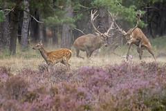 Vechten Edelherten (nsiepelbakker) Tags: edelherten bronstedelhertenveluwe
