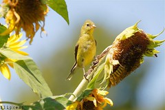 I'm So Pretty (flipkeat) Tags: cute bird nature beautiful birds yellow closeup pom different wildlife sony goldfinch awesome birding adorable 11 canadian american perched sept birder avian americangoldfinch tristis spinus a500